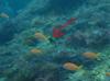 キンギョハナダイに混ざって泳ぐオジサン幼魚