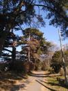 赤城山松並木
