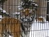 雪のなかのトラ・旭山動物園