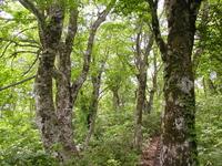 ブナの樹林